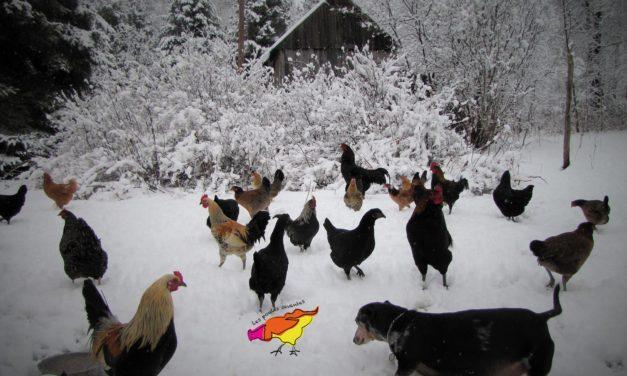 Les poules et la neige…
